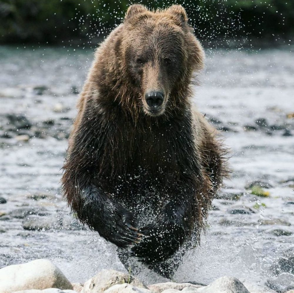 Raincoast studies the effect of ecotourism on bears