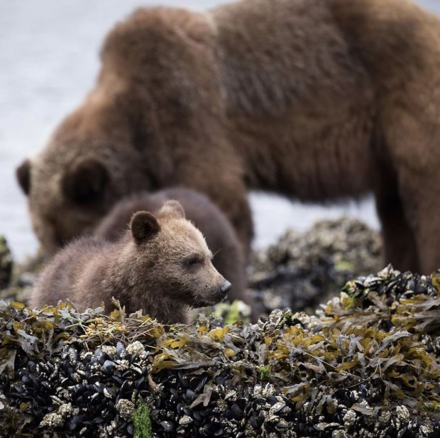 Brown bear and cub lounge next to the water