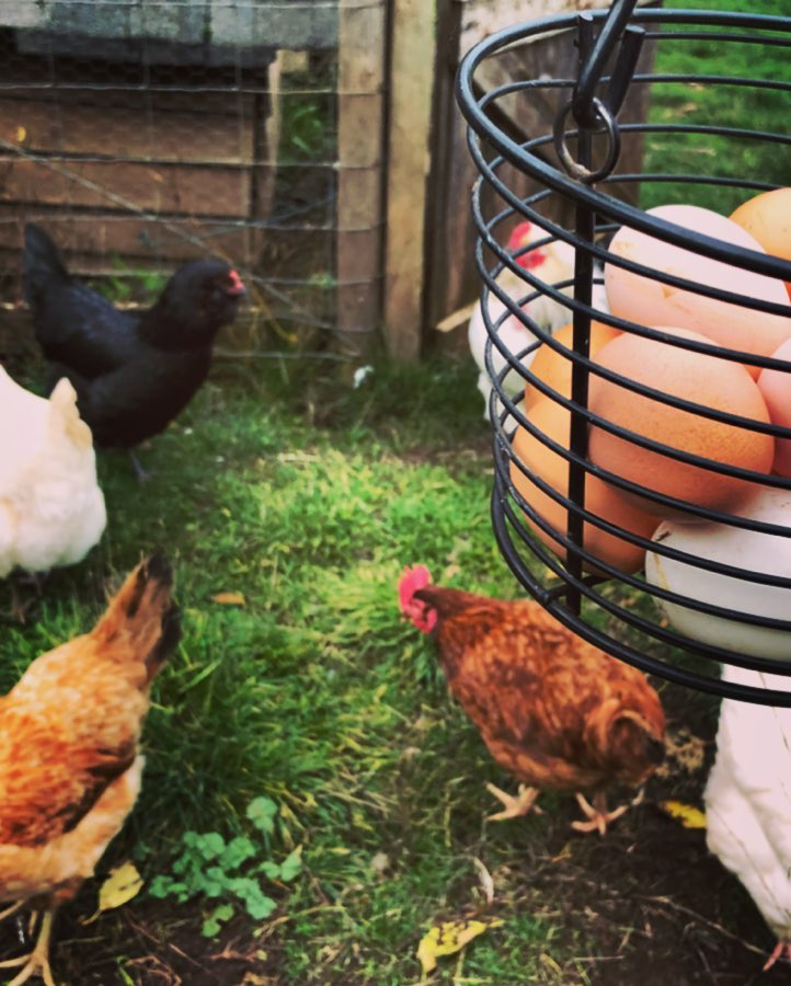 Close up of chickens, 2 brown, 2 white and 1 black standing in a circle next to a black wire basket full of bwon and white eggs, with a chicken coop in the background