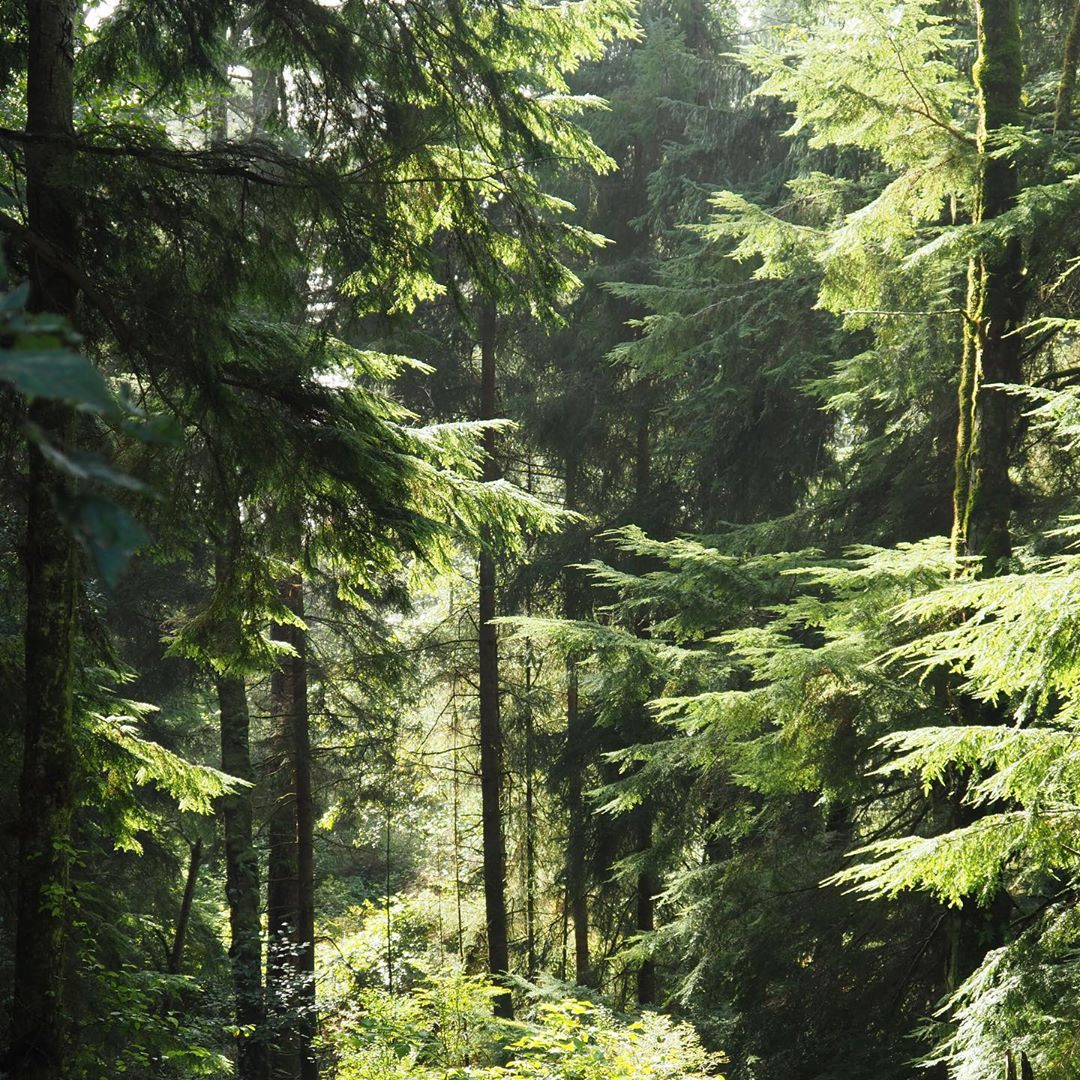 lush green forest of conifers bathed in sunlight