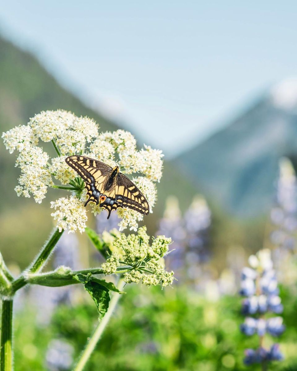Yellow and black butterfly hovers beside a white flower with the blurred view of mountains in the back
