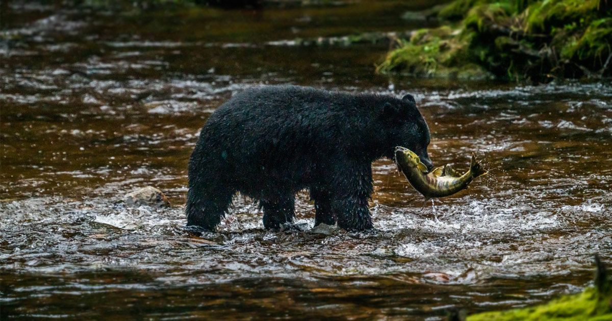Black bear wet from the river water that it stands in has a salmon curving as it struggles in its mouth