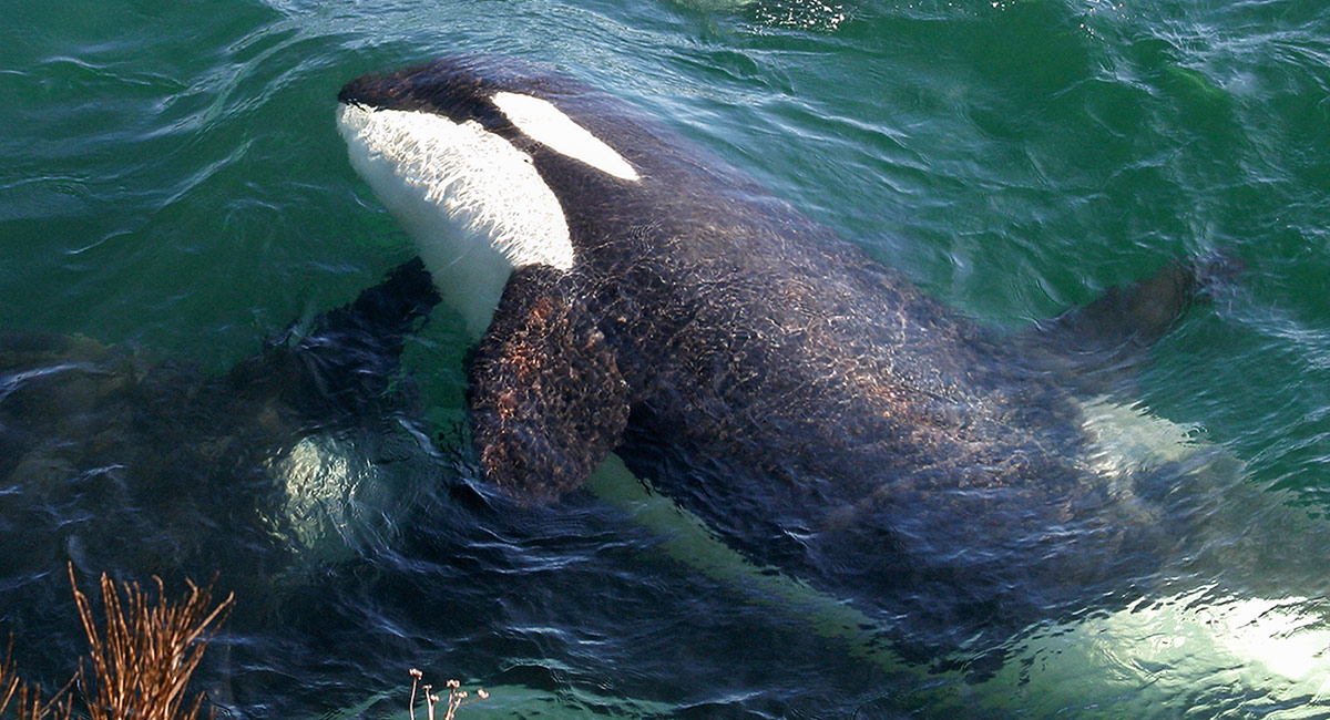 Close up photograph of an orca whale, white and black face and black body partially out of green water.