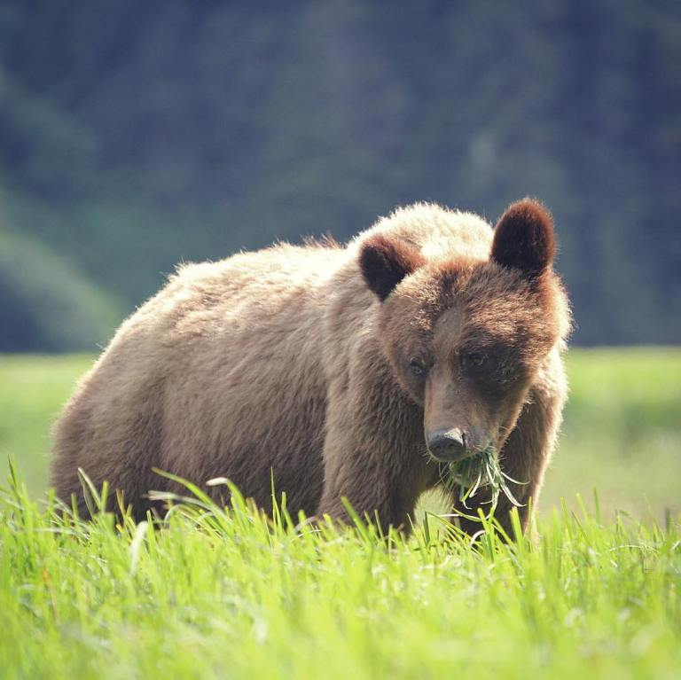 A win for BC grizzly bears