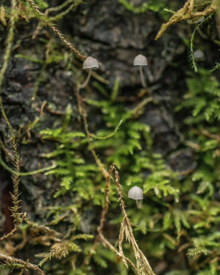 Three small mushroom caps in grey hanging onto ivy