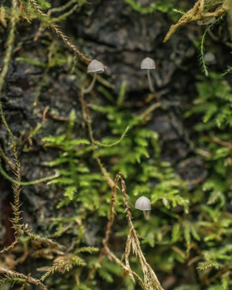 Mycena capillaris