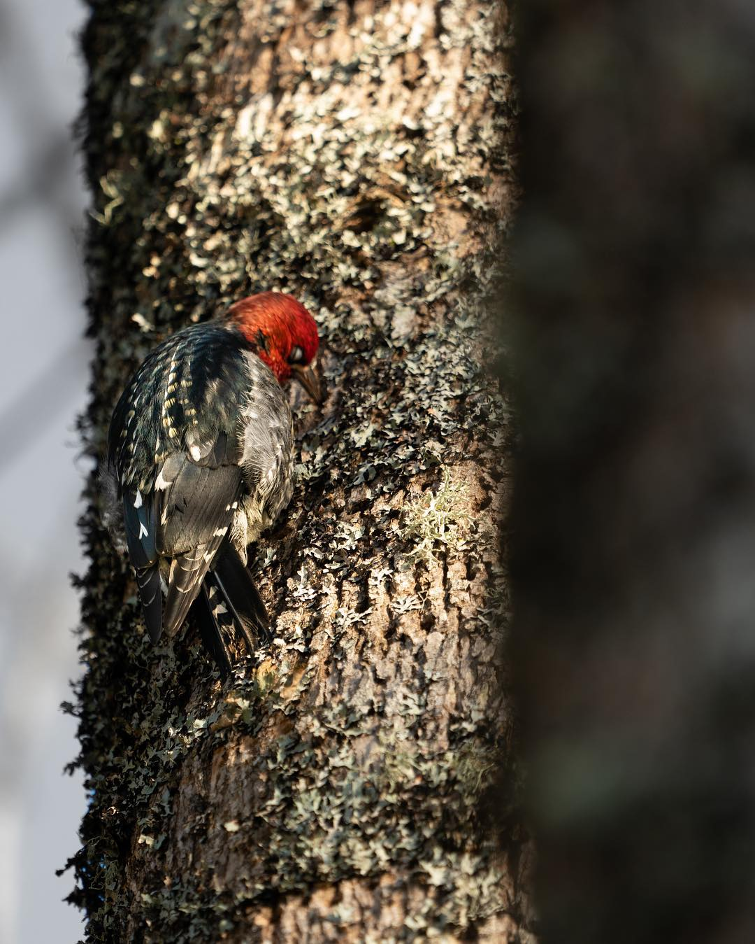 Red breasted sapsucker, a small brown and black bread with red head pictured on a brown tree trunk