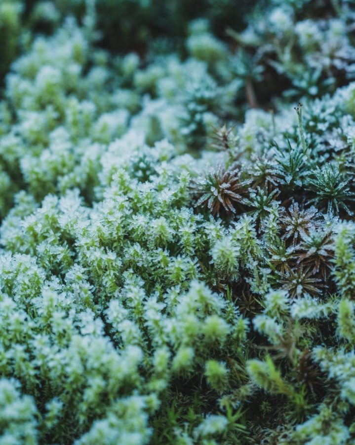 Frost covered moss