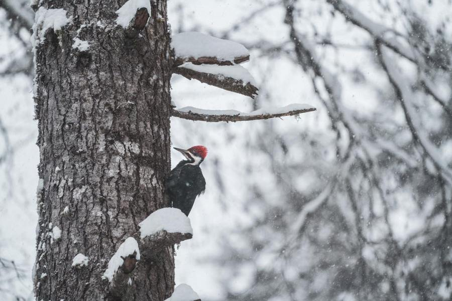 Red headed pileated woodpecker bird on tree trunk with snow laden branches and a blurred background of snowed in forest