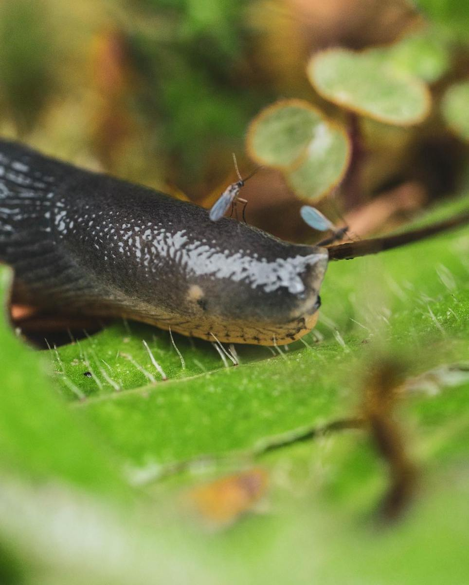 Black grey garden slug with its eyes retracted and a mosquito sitting on its head pictured on a green leaf, in extreme close up