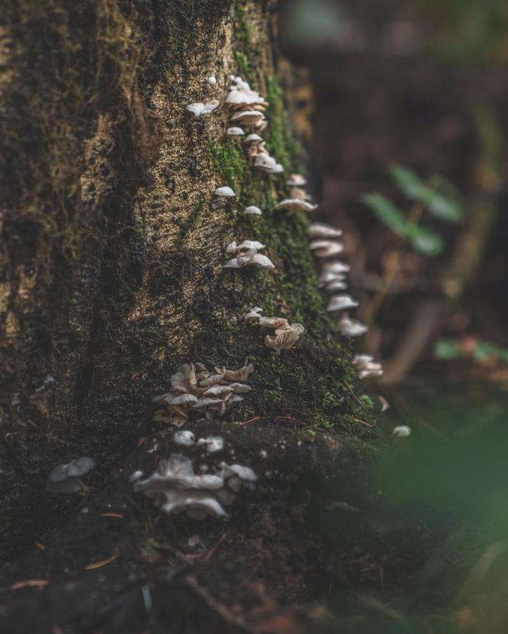 Dozens of mushrooms clinging vertically to the bark of a tree
