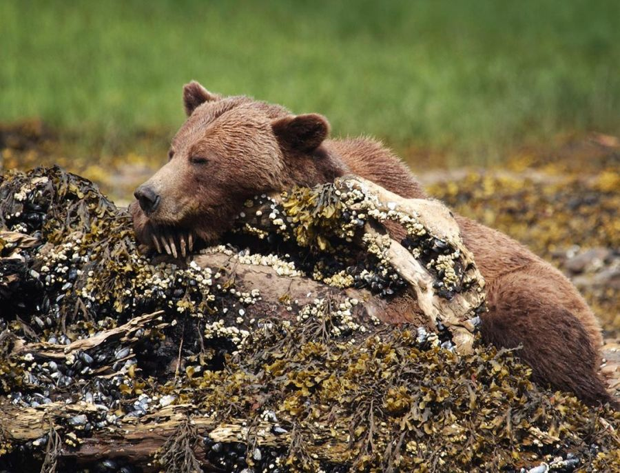 Brown bear seen resting its chin like its posing for a nap on a rocky outcrop