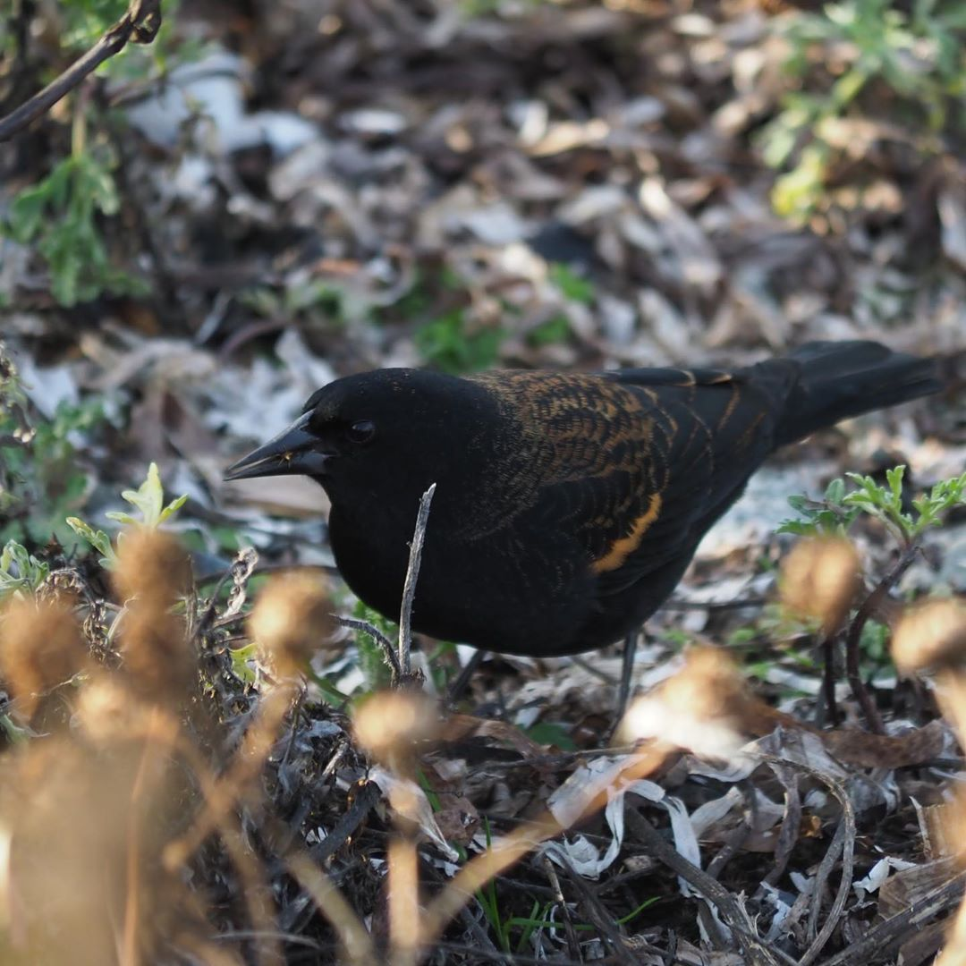 Red winged blackbird standing on leaves