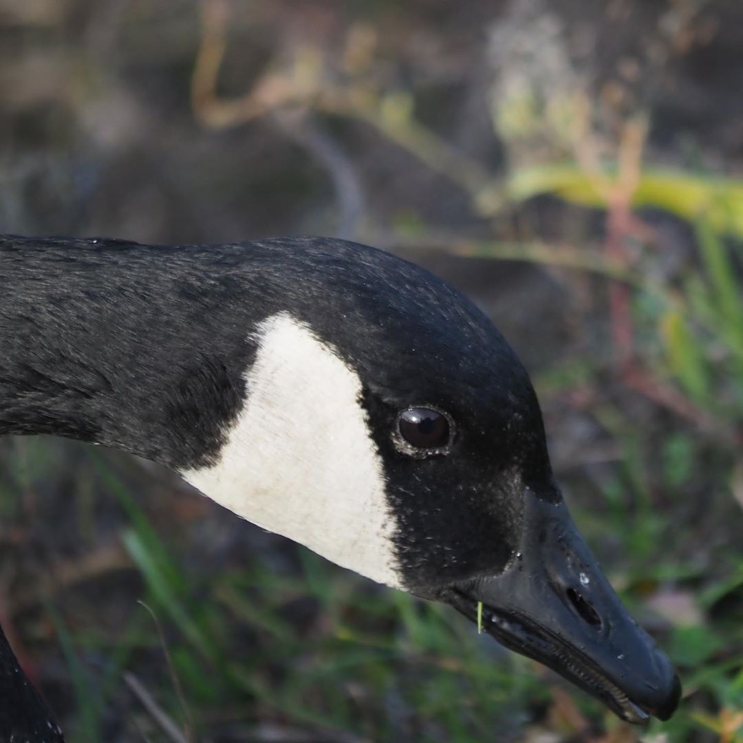 close up of the head of a Canada Goose with black and white colouring