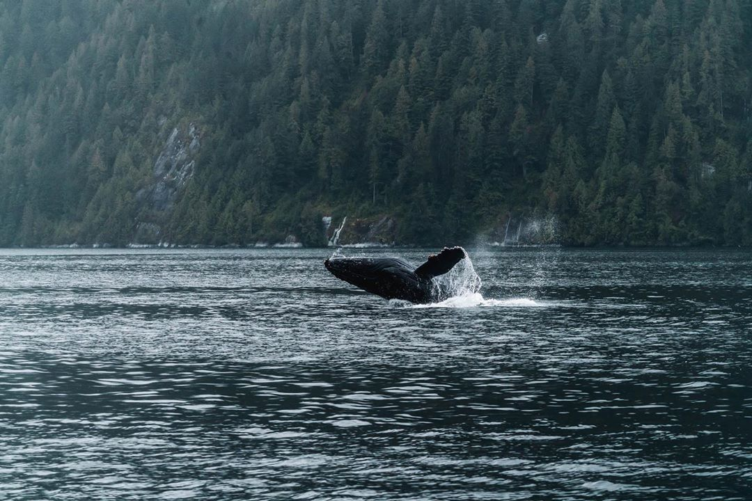 Humpback whale touching down in water after a breach