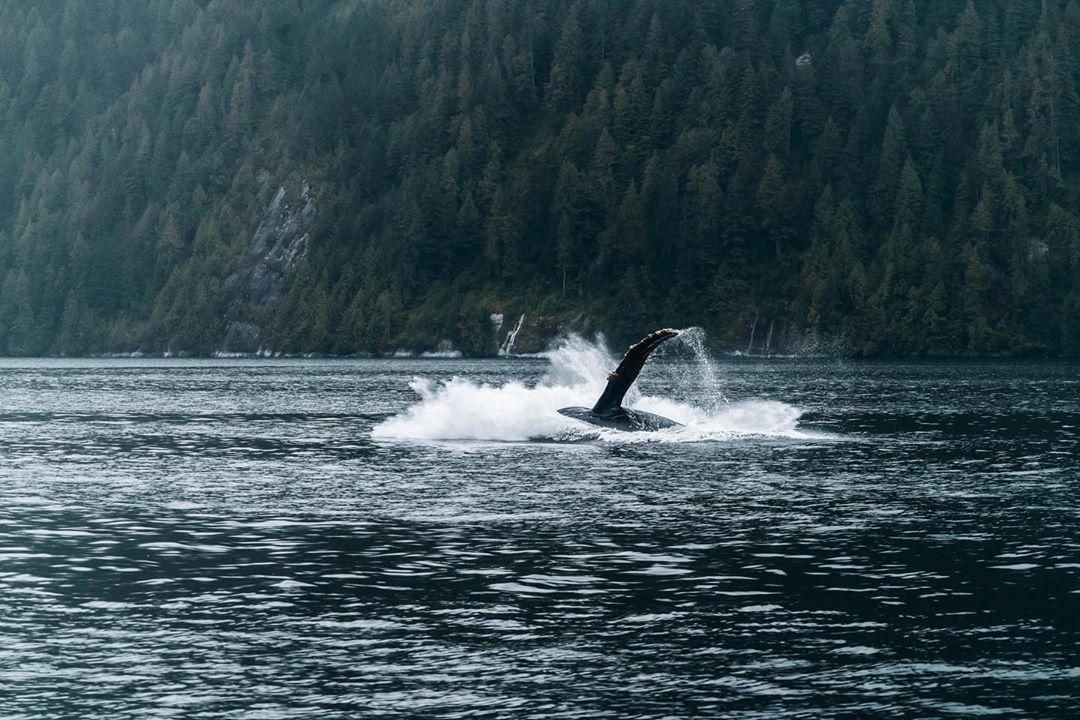 Humpback whale sinking down into water after a breach