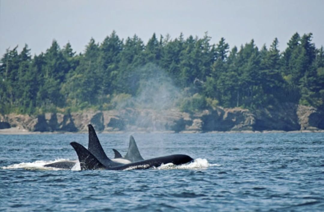 A pod of orcas with their backs and tail fins visible in blue ocean raising misty spray while the forested shore is visible behind.