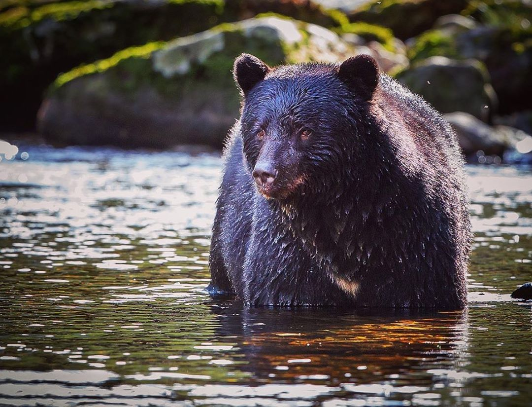 A black bear framed in sunlight looks off left of camera, with an expressive face, standing in water up to its legs with the rocky shore visible behind it.