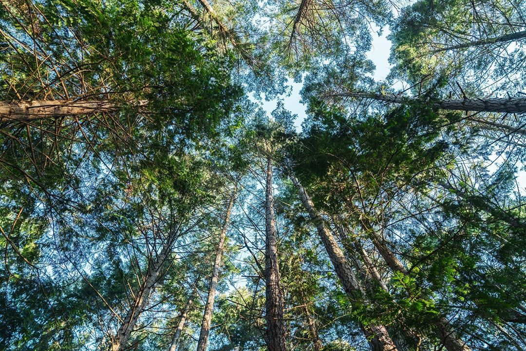 tall trees rising into the blue sky with their tops creating a canopy in the forest