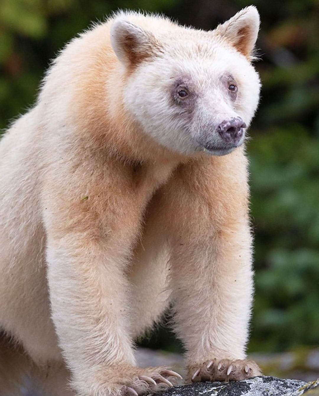 A beautiful white spirit bear captured in a close up photograph sits on all fours while staring with a soulful expression in to the camera