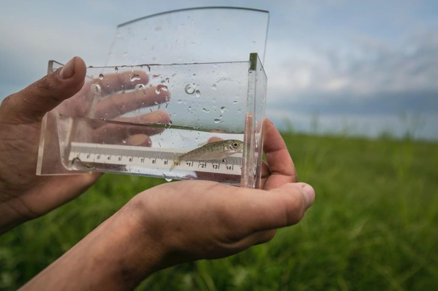 Juvenile salmon measuring ;ess than 5 centimetres shown displayed inside a plastic glass box with a ruler in the bottom. Box and fish are being held by two hands visible in the picture, with a blurred background of grass, and blue sky beside water