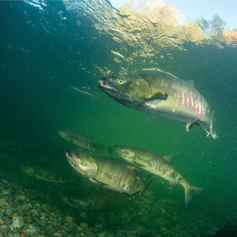 Under green water, three or four Chinook salmon swim together