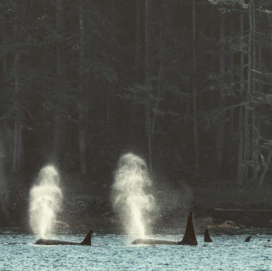 Orca pod of three whales with two of them tail fin and back visible and spouting jets of water, white bubbles in blue ocean against dar green forest backdrop
