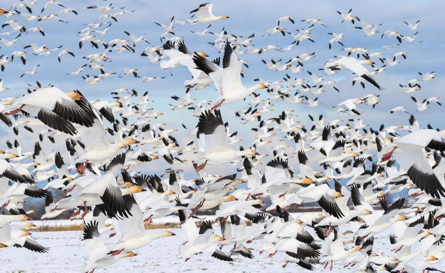 A flock of white and black snow geese with yellow beaks captured in mid flight as they crpwd out the blue in the sky, above paler blue waters of the Fraser Estuary