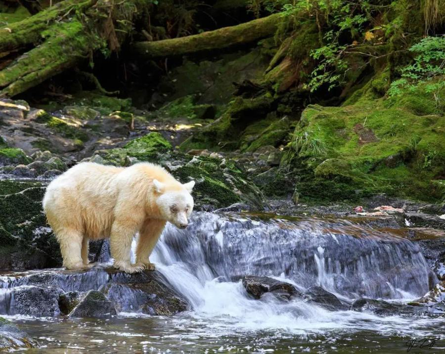 Spirit bear stands at the topf of a small stretch of waterfalllooking at the white froth and green water while lush green forest and trees rise in the background