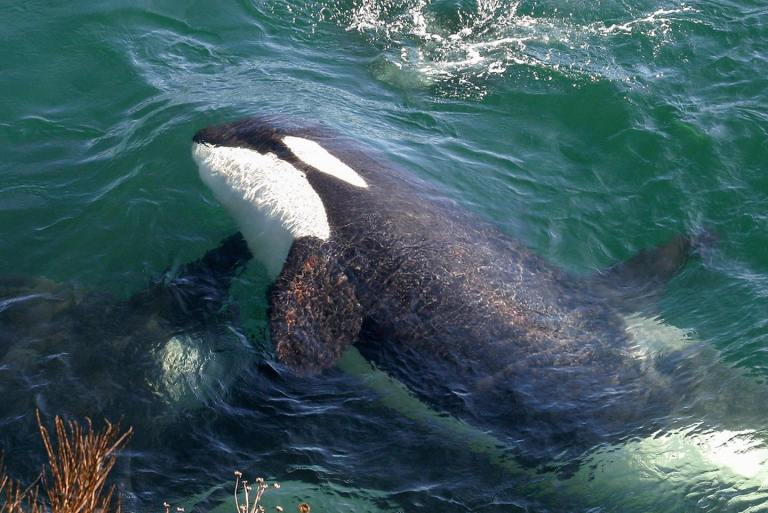 Recovery efforts for resident orcas