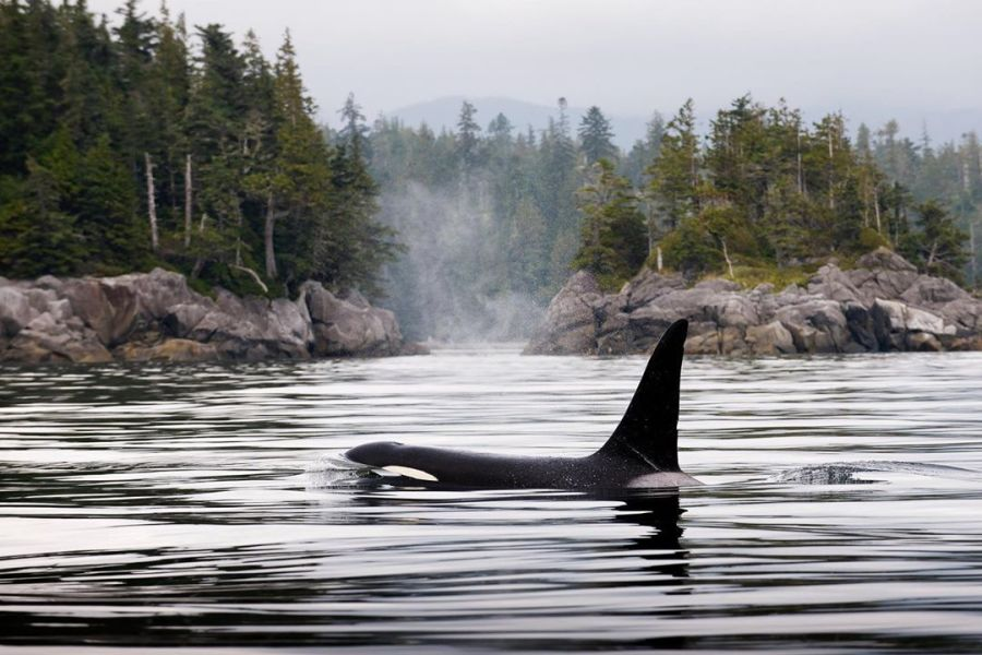 One orca whale back and tail fin almost completely out of the water is spouting water from in the peaceful still grey waters with evergreen trees lining the banks