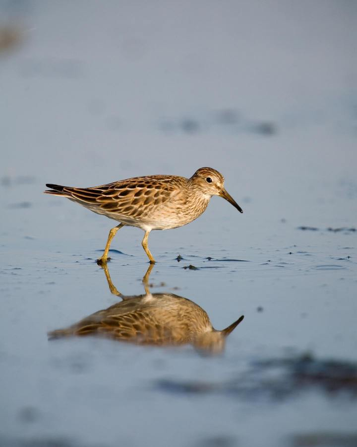 Sandpiper, a brown medium sized bird with a long dark beak walks on sand with a thin reflecting sheet of blue water, its reflection visible.