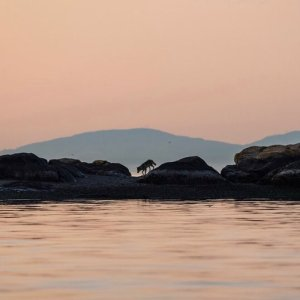 Sunset pink sky and pink light reflected in water are divided by a wall of rocks on which a lone wolf walks.