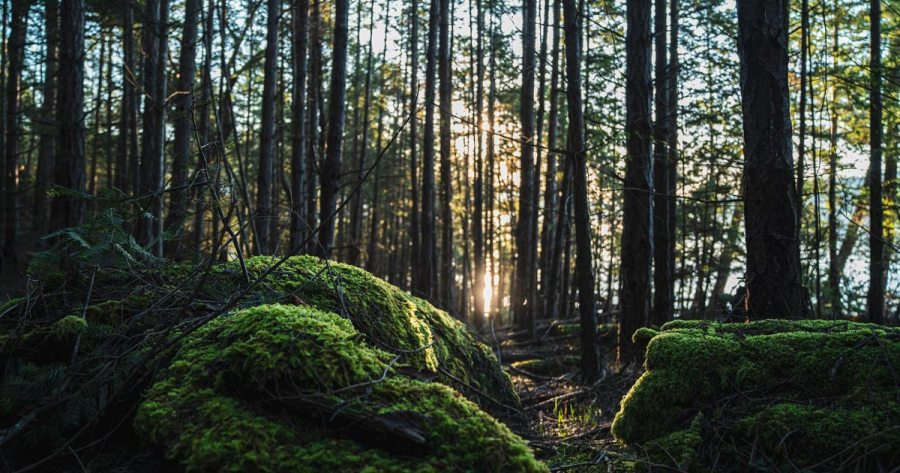 A close up of mossy trees, with dark forest and sunset in the background.
