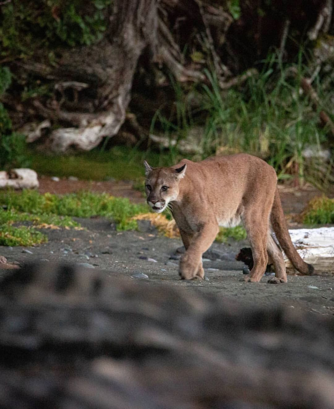 A beautiful brown cougar is seen walking along