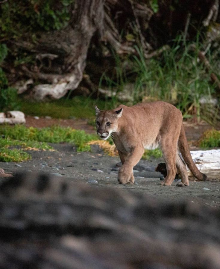 A beautiful brown cougar is seen walking along