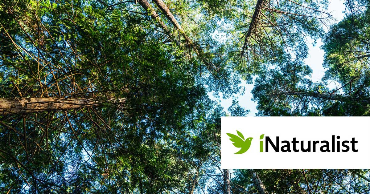 Looking up, up into the tree tops of trees on Pender Island with the blue sky in the background and the iNaturalist logo in the foreground.