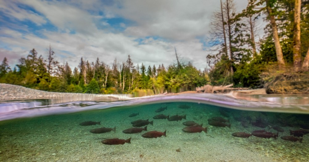 A vision for wild salmon in the Lower Fraser