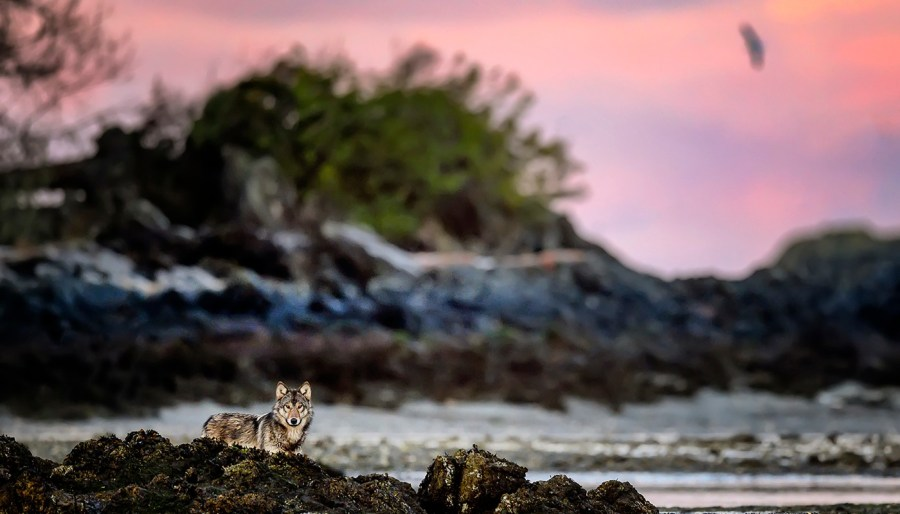 A wolf lies on a rocky beach in front of a beautiful pink and purple sunset.