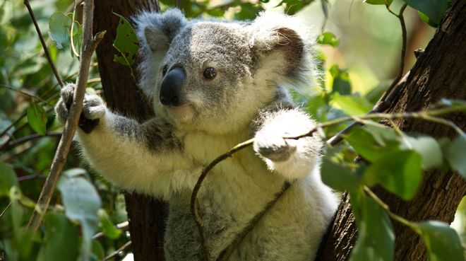 Koala Habitat Destruction