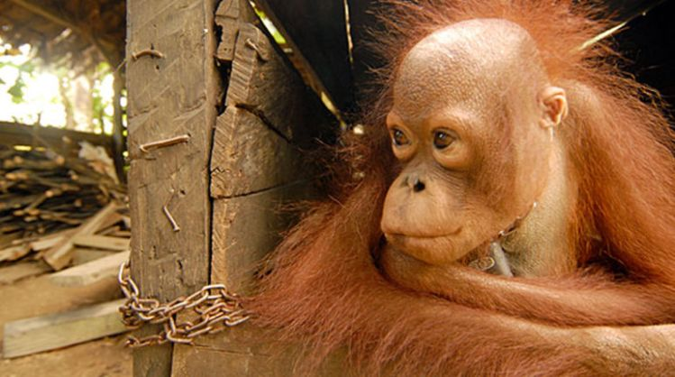 Image result for palm oil and orangutans