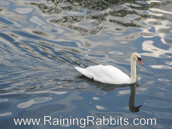 Swan at Ryde