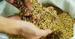 barley is part of hair fiber