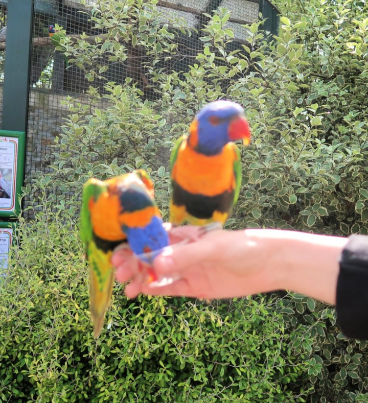 two lorikeets sitting on Stars hand