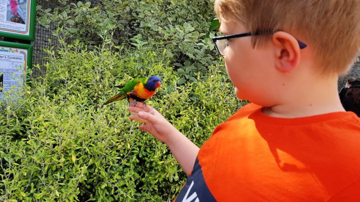 Little boy with orange and blue t-shirt holding a little lorikeet bird on his hand. The bird has a blue head and orange chest, while it's wings are green.