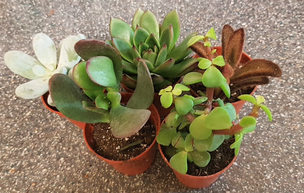 Image shows five mini succulent plants with different leaves and colours ranging from white to brown.