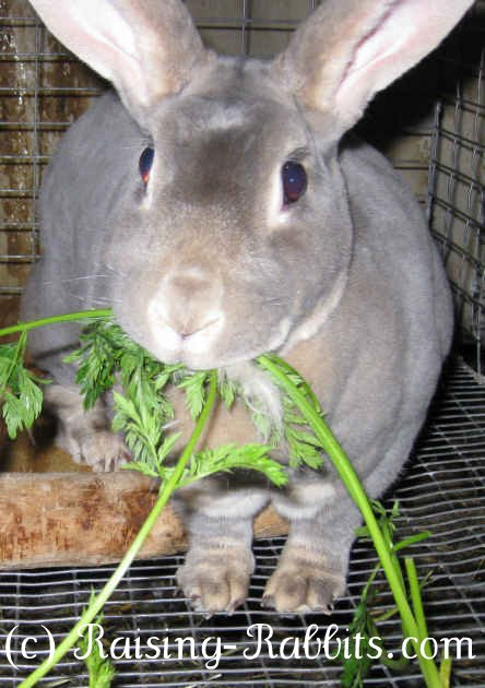 Feeding Rabbits What Rabbits Need To Eat Healthy Rabbit