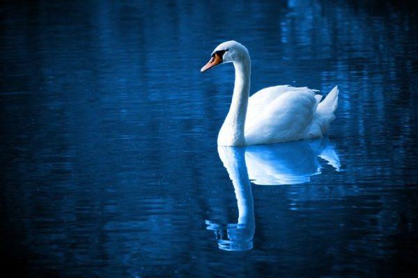 blue-toned swan on dark blue water