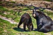 Black Bear Momma and Cub