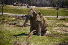 Elephant Scratching His Butt